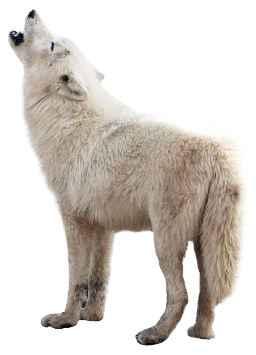 Wolf png images. Image pngpix