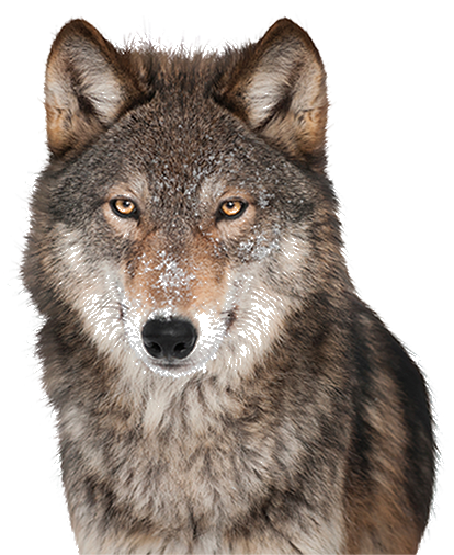 red wolf png