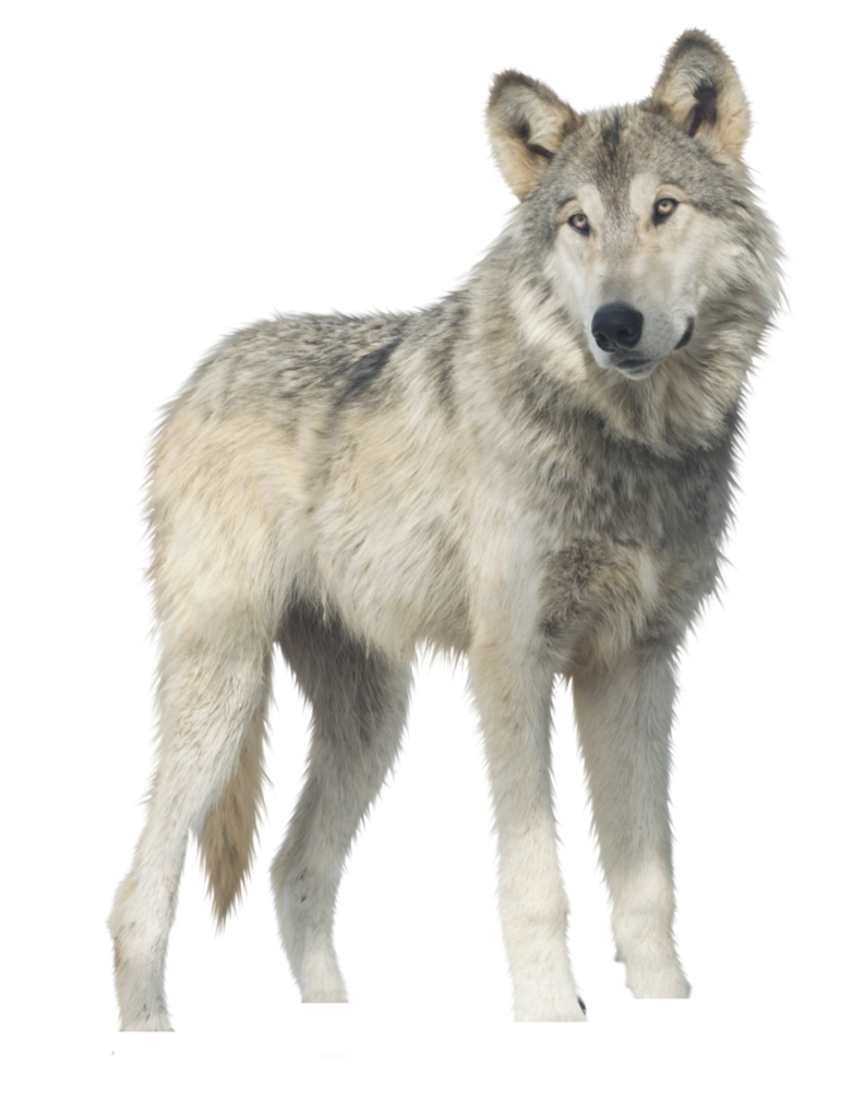 Wolf png images. Jericho by raynexstorm on