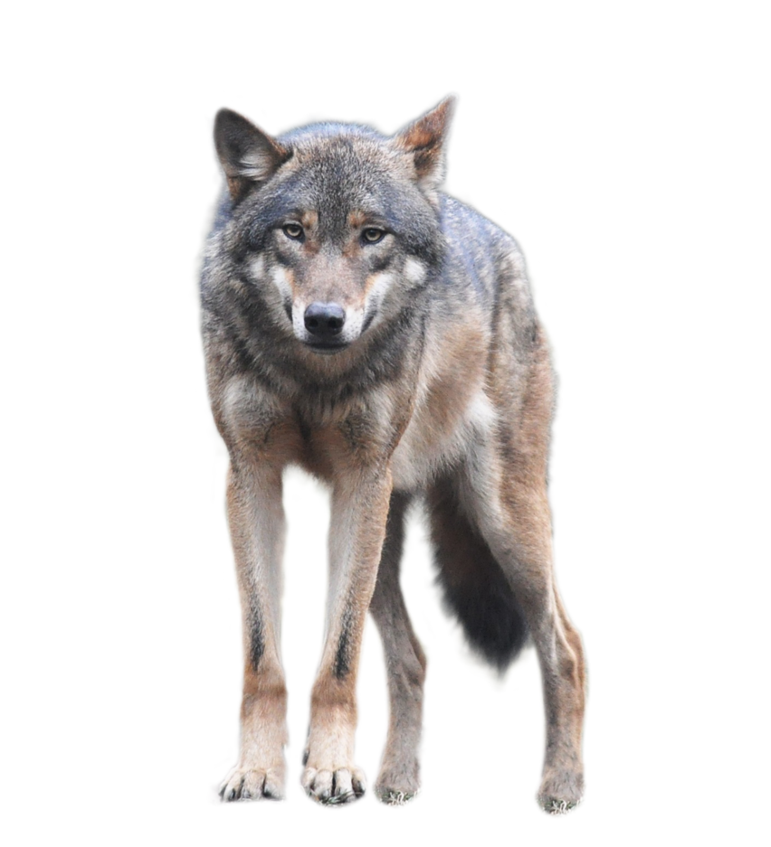 Wolf png images. Standing an looking forwards