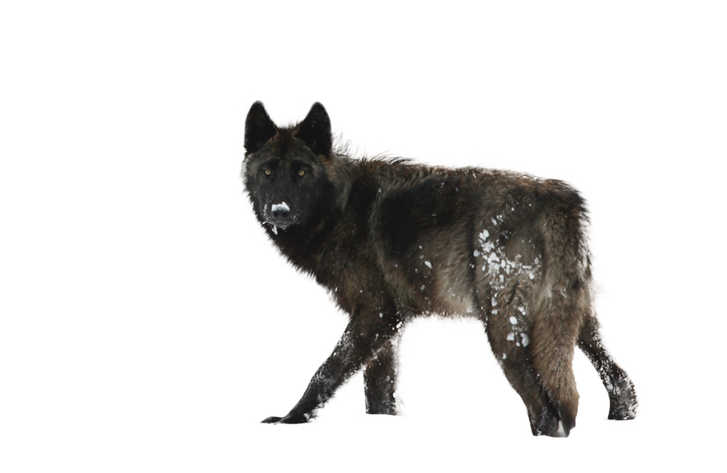Wolf running png. Black transparent images pluspng