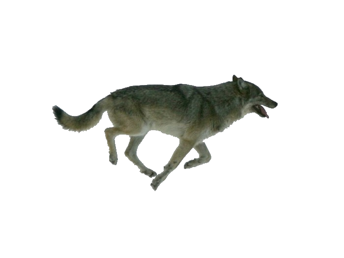Wolf running png. By elevation world on