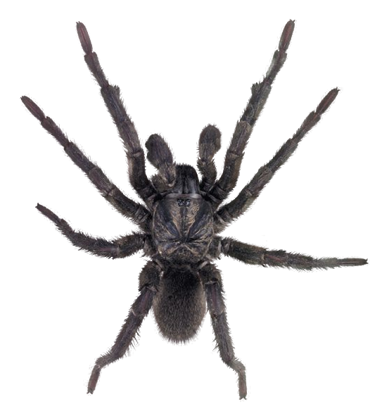 Wolf spider png. By camelfobia on deviantart