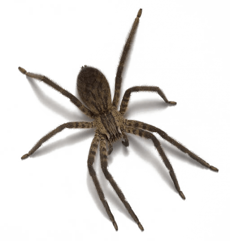 Wolf spider png. Spiders pests in tennessee