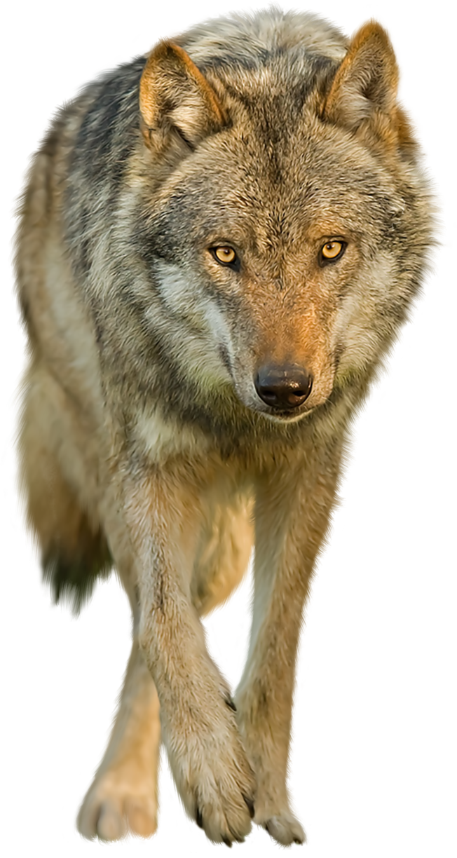 Wolf transparent png. On a background by