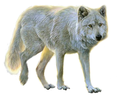 Wolf transparent png. Wolves gallery isolated stock