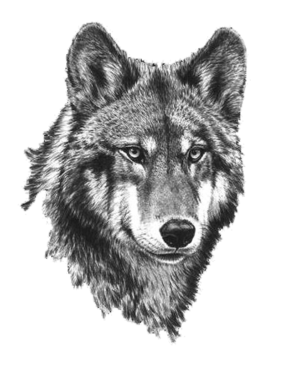 Wolfs drawing detailed. Black and white wolf