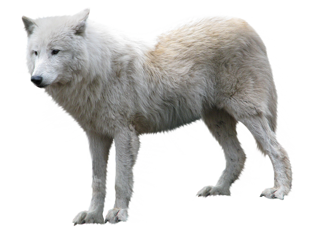 Wolves clipart clear background. Wolf png image free