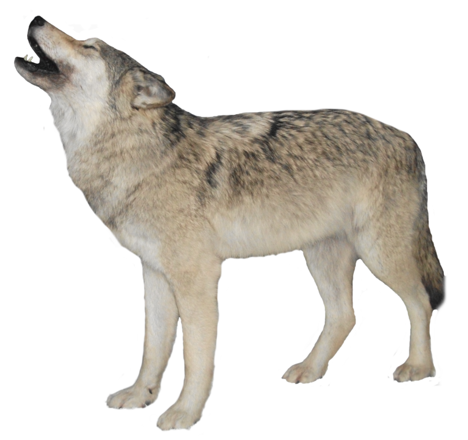 wolf transparent png