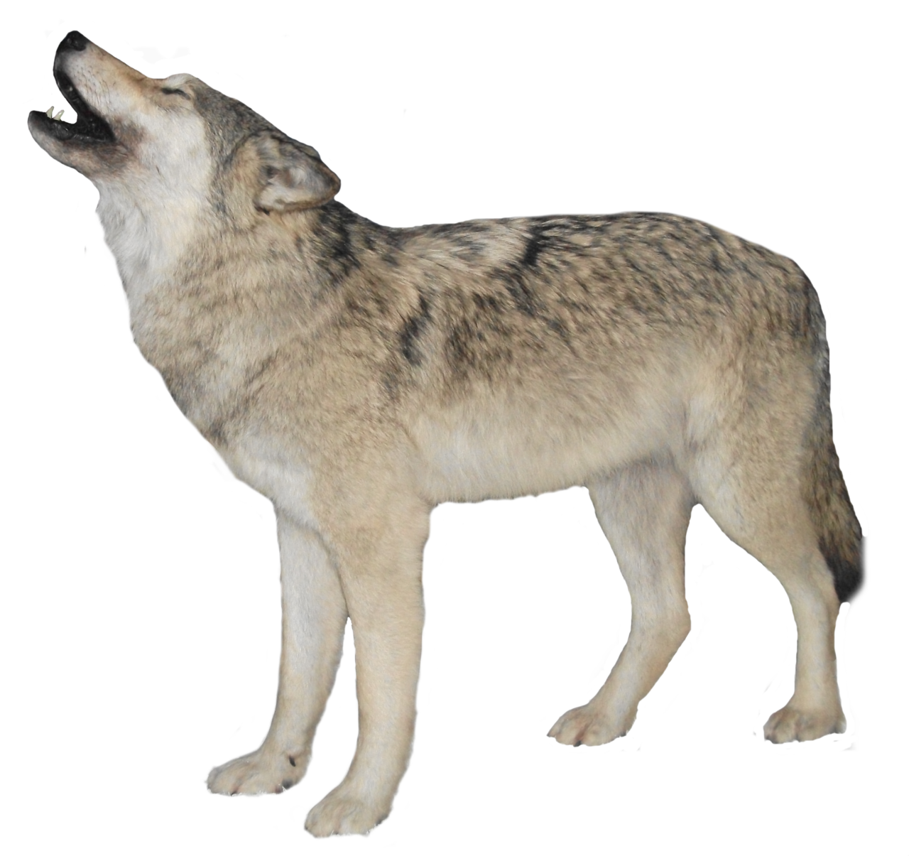 Wolf transparent png. Images all