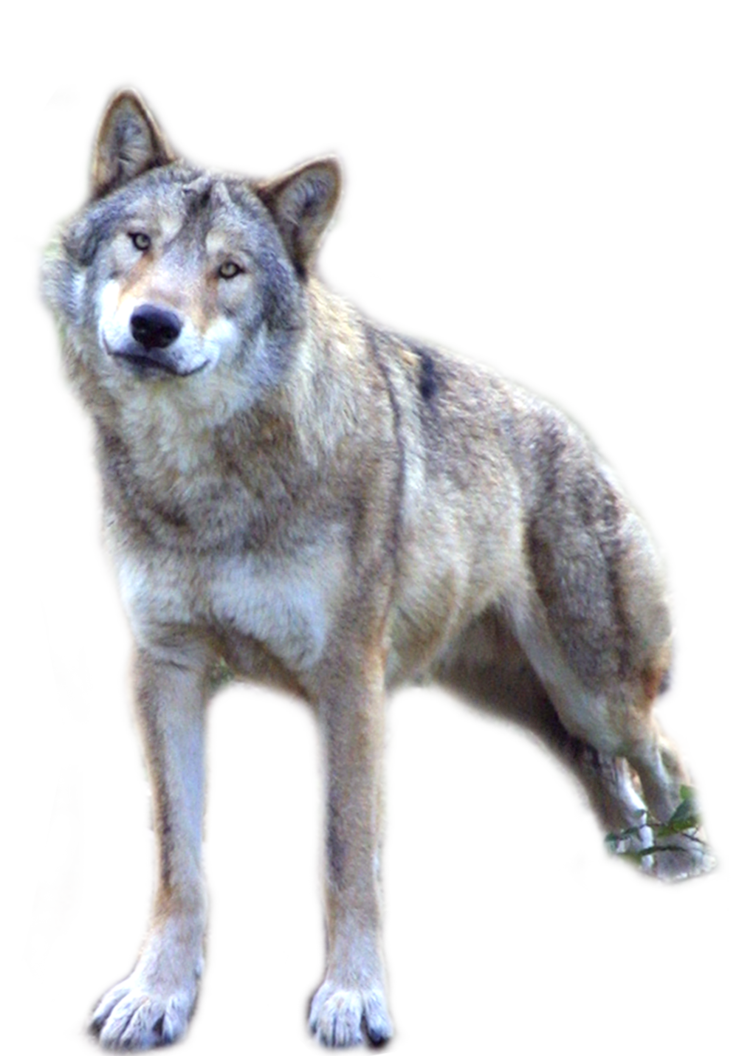 Wolves clipart transparent background. Wolf png image without