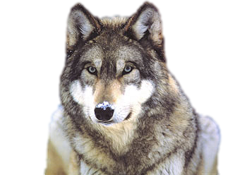 Wolves transparent file. Wolf png images all