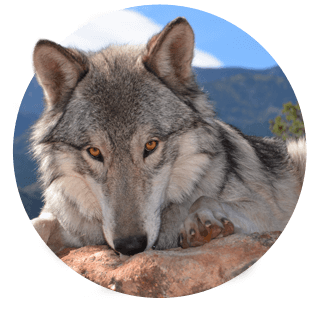 Wolves transparent ghost. Tiny colorado wolf adventures