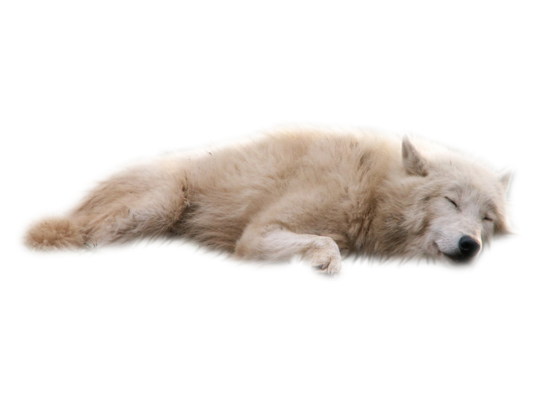 Wolves transparent snow. Download free png white
