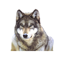 Wolves transparent snow. Download wolf free png
