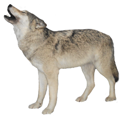 Wolves transparent snow. Wol png dlpng white