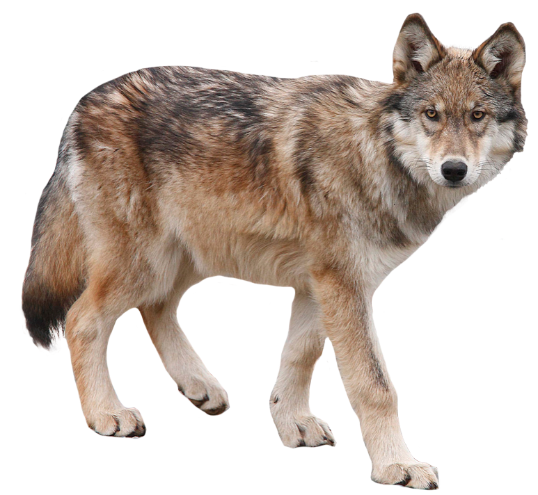 wolves transparent tumblr