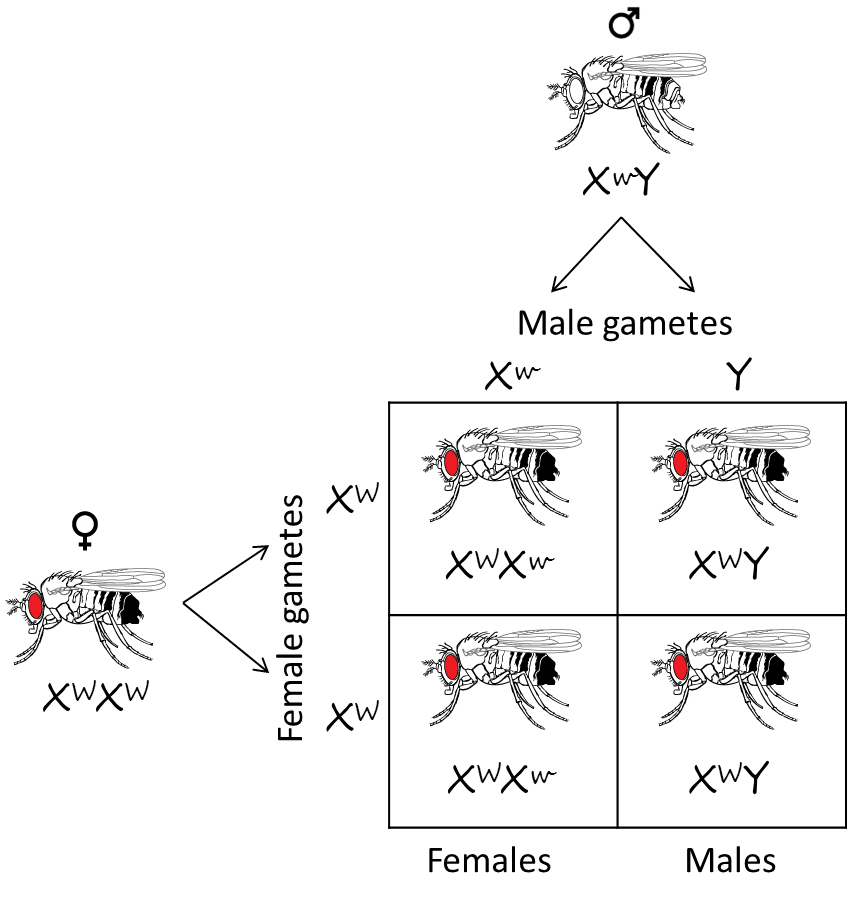 Chromosome theory of inheritance. Function drawing drosophila clip free library