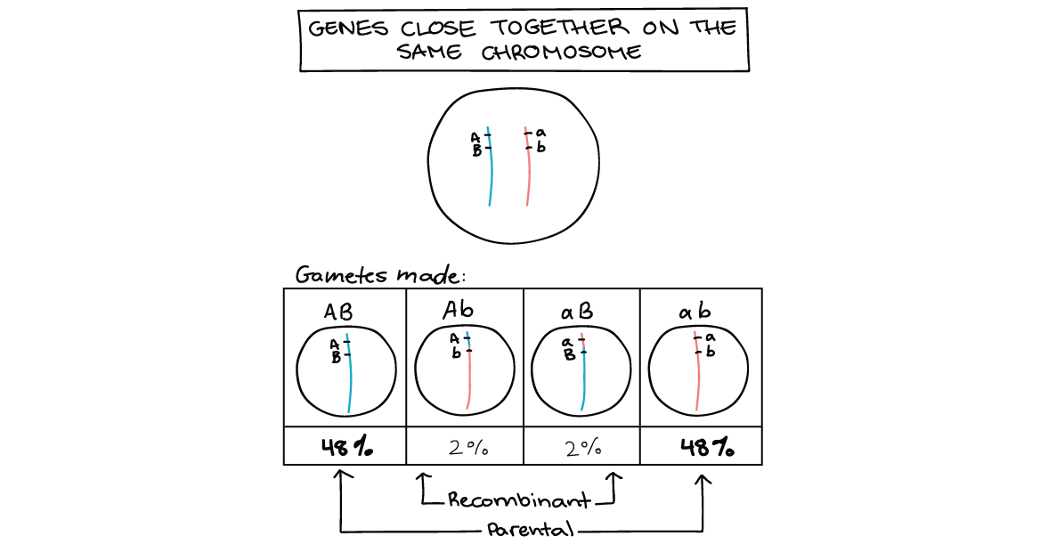 X drawing chromosome. Genetic linkage mapping article