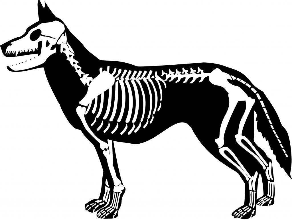 Xray clipart pet. Dog skeleton drawing at