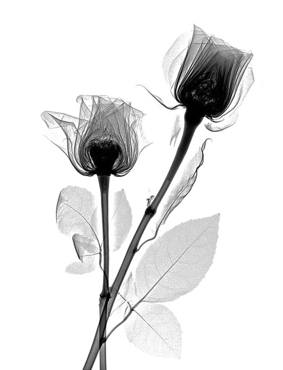 Xray drawing flower. X ray rose rosaceae