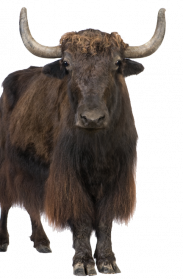 Yak clipart transparent. Png images pictures photos