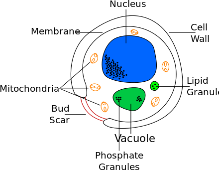 Yeast drawing bread line. Wikiwand diagram showing a