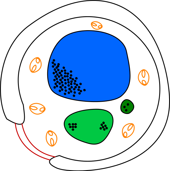 yeast drawing fungus cell  diagram of free wiring