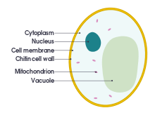 Yeast drawing baking ingredient. Crosssectional labelled diagram of
