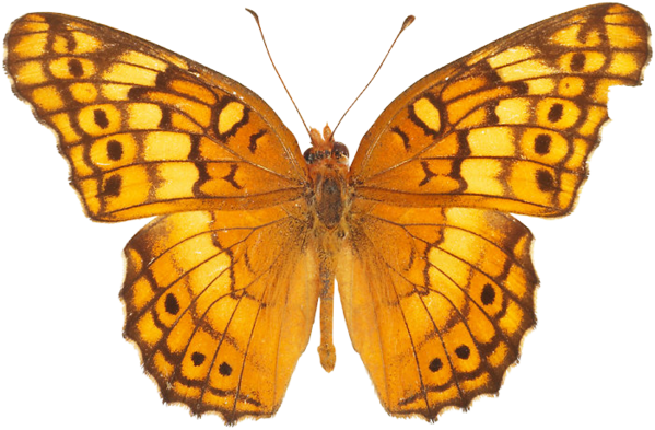 Yellow butterfly png. Transparent pictures free icons