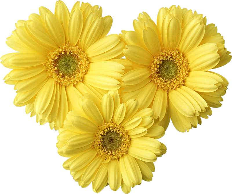 Yellow flowers png. Gerbers daisy picture gallery