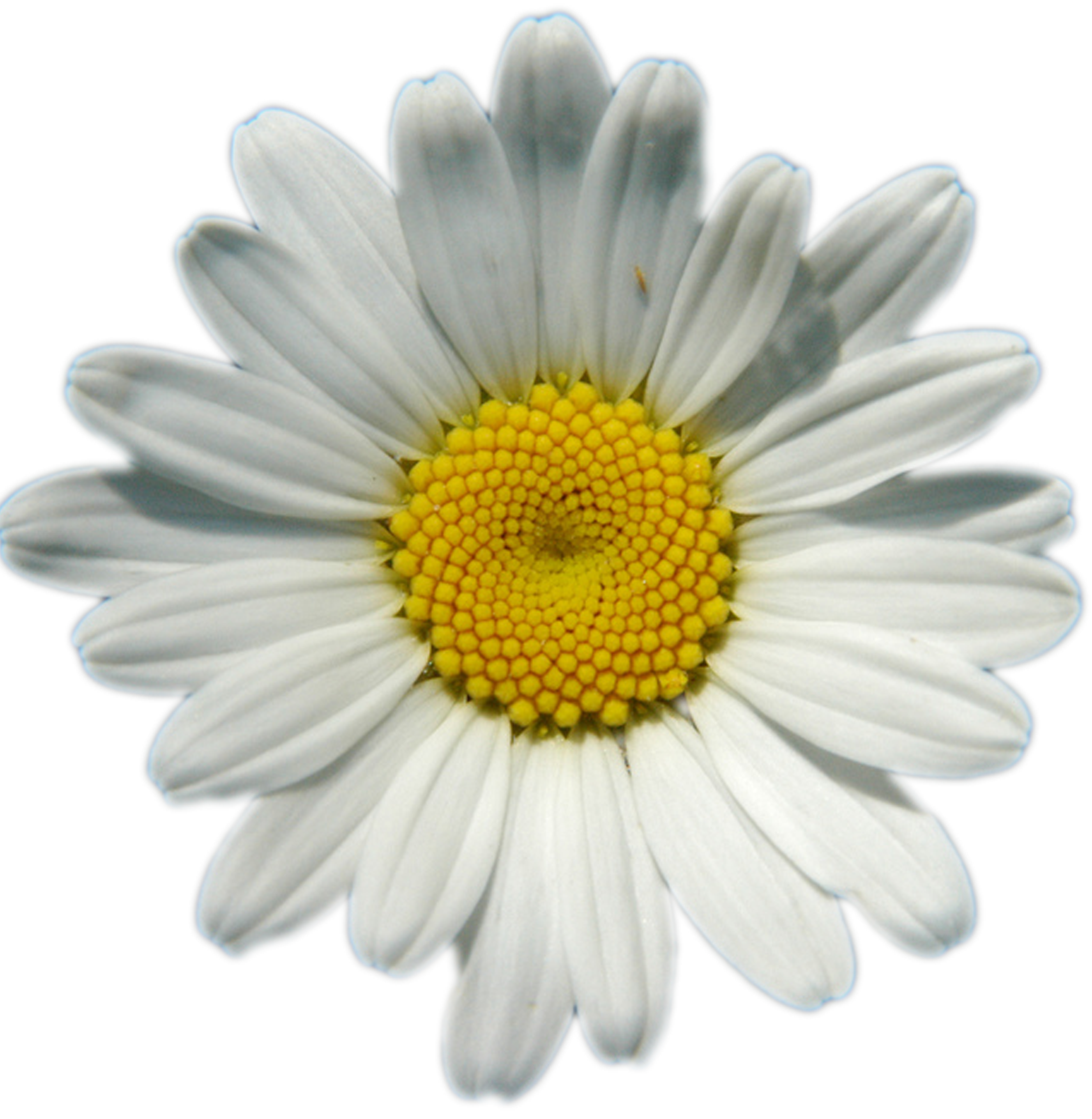 Yellow daisy png. Daisies image background arts