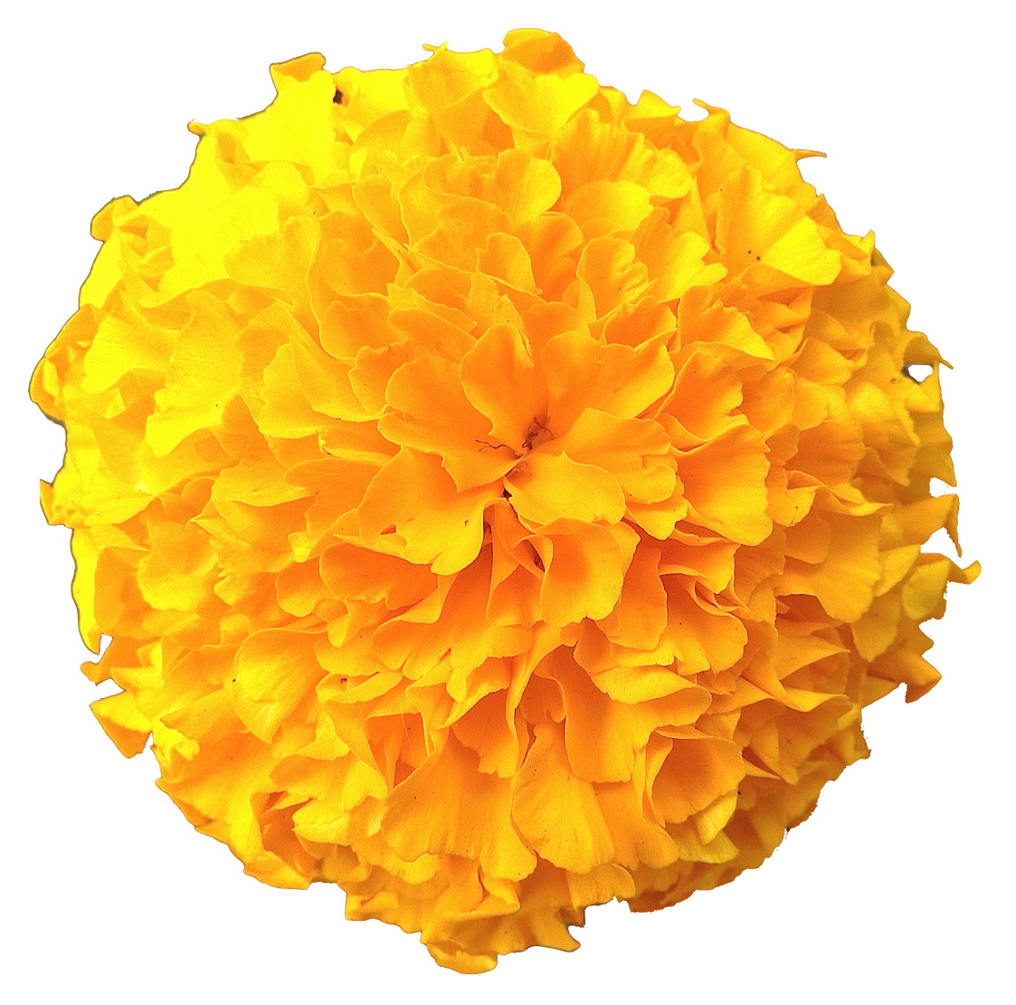 Yellow flower png. Marigold flowers pic