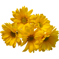 Yellow flowers png. Download free photo images