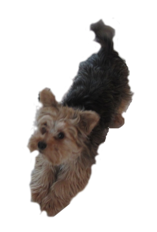 Yorkshire terrier australian puppy. Yorkie clipart vector freeuse