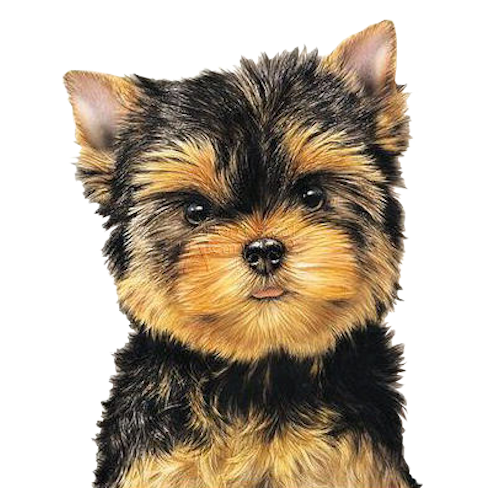 Yorkie clipart head. Tubes chiens perros pinterest
