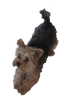 Yorkie clipart head. Yorkshire terrier pet sitting