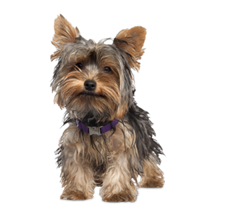 Yorkie clipart pet. Dog profile lovers woo