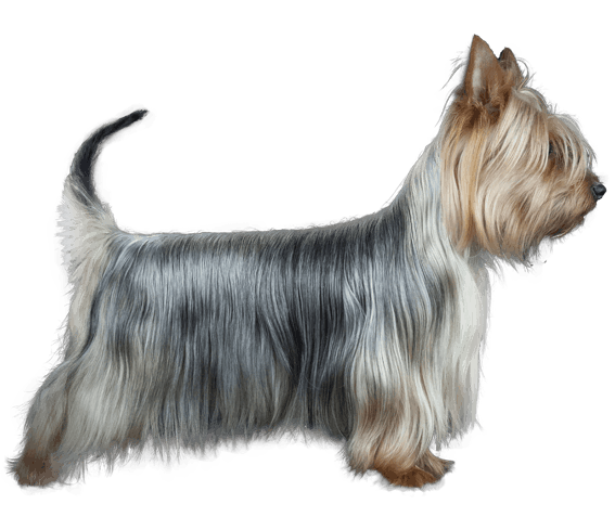 terrier drawing silky