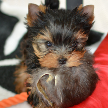 Yorkie clipart steel blue. Puppies for sale artistry