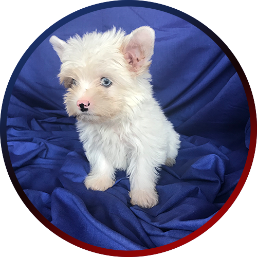 Yorkie clipart steel blue. All available puppies for
