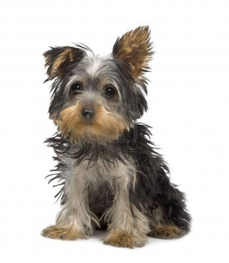 best cute puppies. Yorkie clipart steel blue graphic freeuse stock