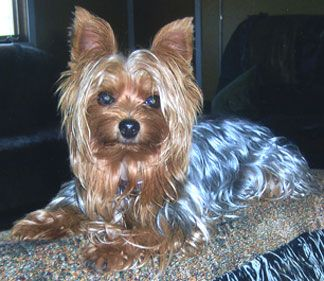 Yorkie clipart steel blue. Best gregory s