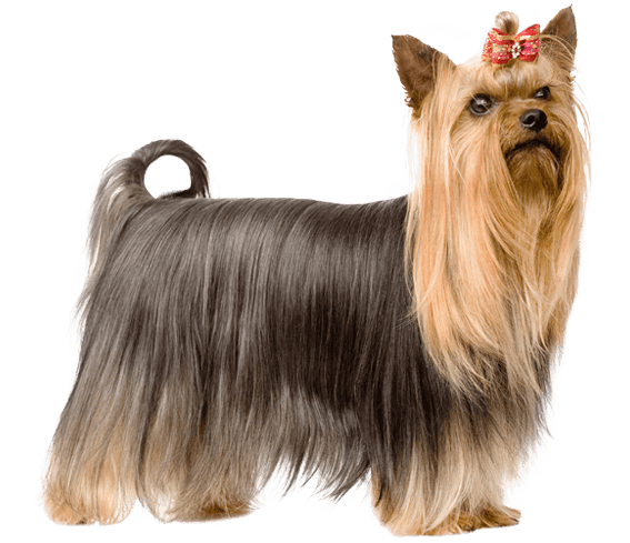 Yorkie clipart steel blue. Yorkshire terrier dog breed