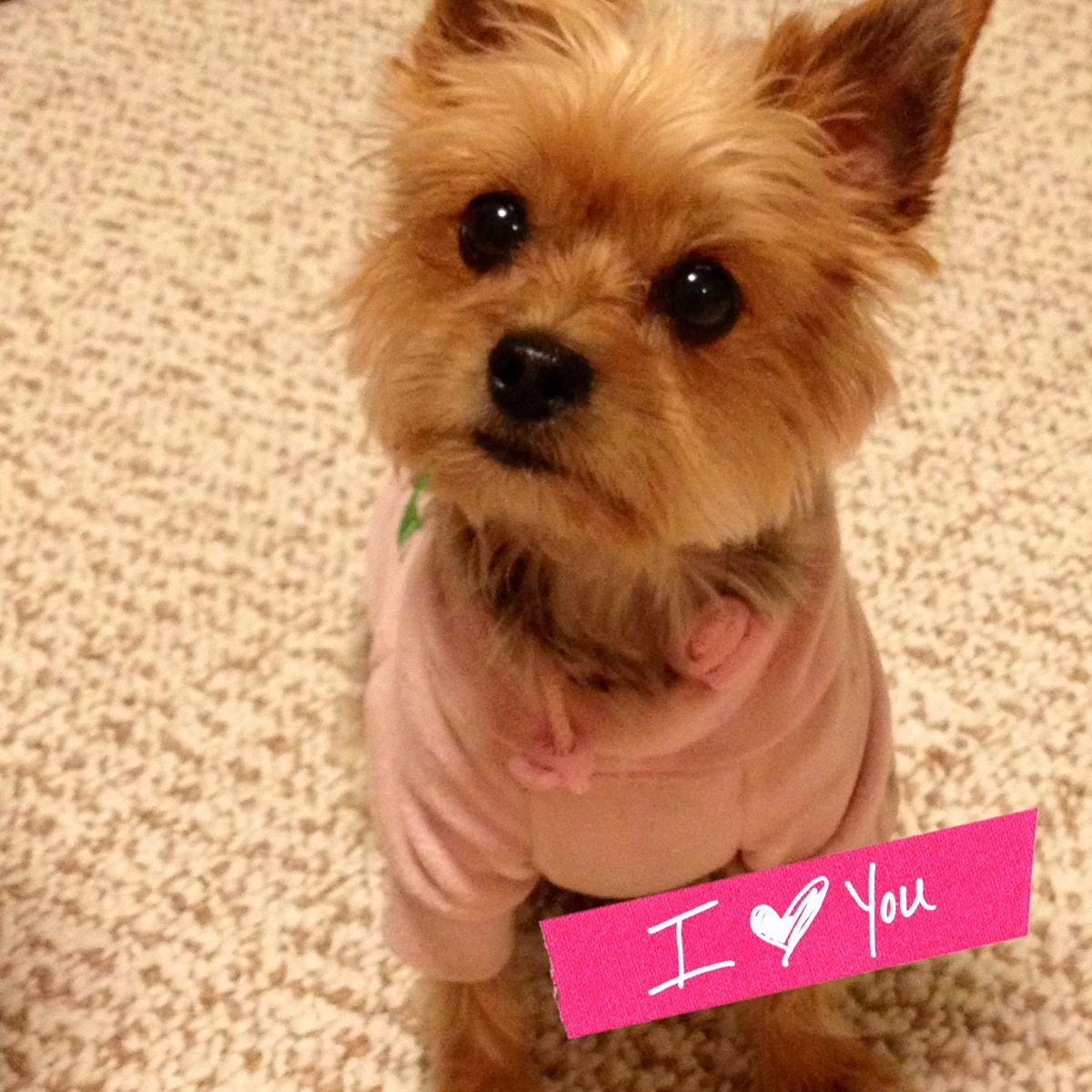 Yorkie clipart teacup yorkie. Yorkies cute juicy couture