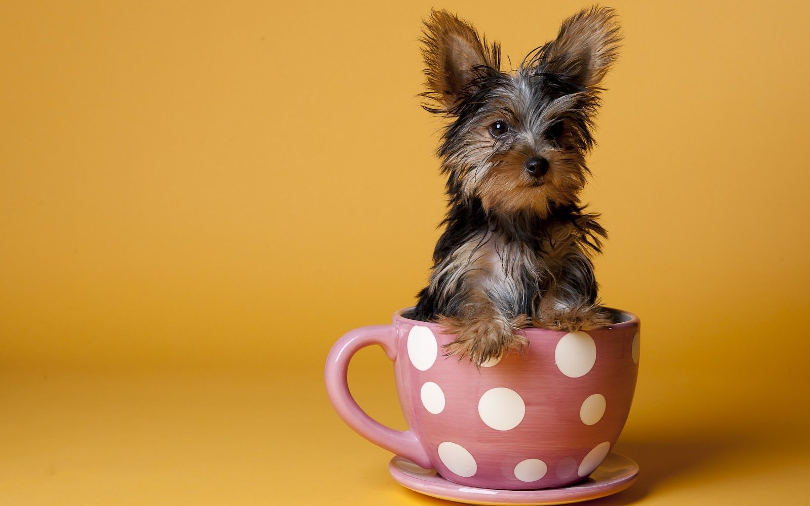 Yorkie clipart teacup yorkie. Cute yorkshire terrier clip