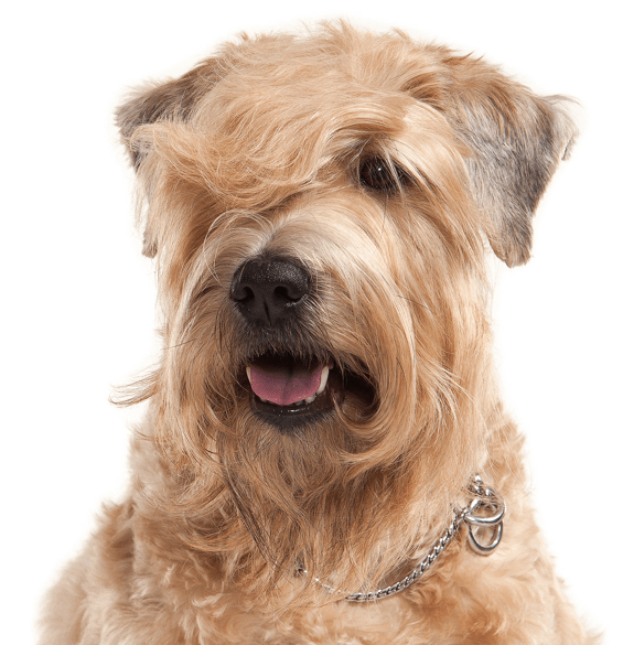 Yorkie svg. Wheaten terrier puppies dogs
