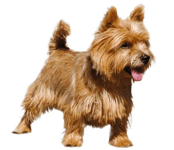 Yorkie svg cairn terrier. Norwich dog breed facts