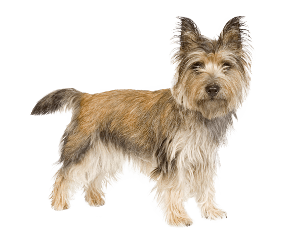 Yorkie svg cairn terrier. Dog breed facts and