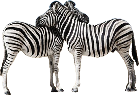 Zebra transparent. Png images all picture